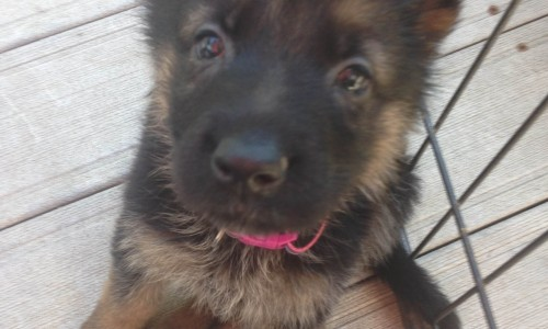 German Shepherd Puppies Chicago IL