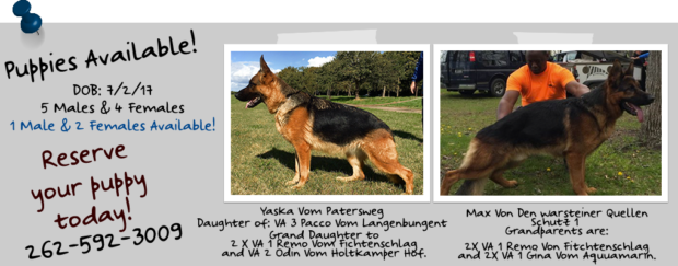 Roche's German Shepherds Puppies Available