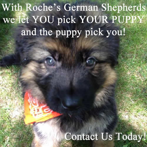 German Shepherd Puppies Minnesota