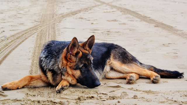 Buying a German Shepherd from a Professional Dog Breeder Wisconsin?