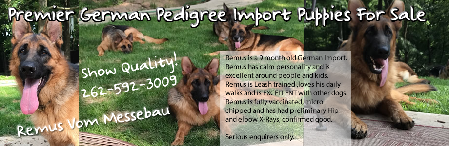 Premier German Pedigree Import Puppies Available