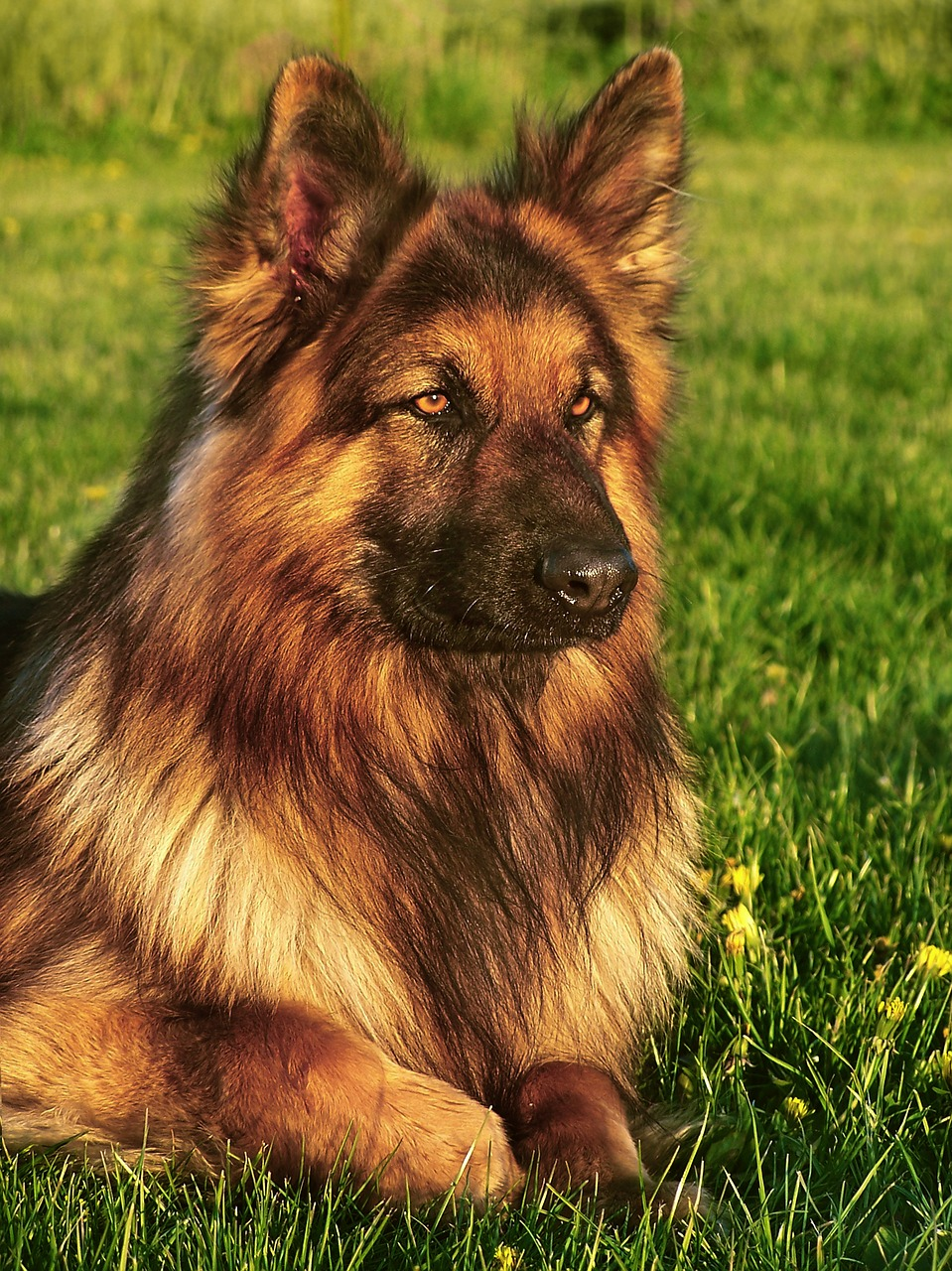 Wrong Genes Gone Right: Long Haired German Shepherd Puppies