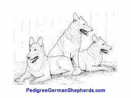 Pedigree German Shepherd